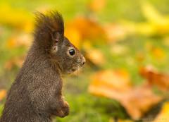 Squirrel (stephanie_ruebenach) Tags: animal canon squirrel zoom bokeh nuremberg 70200 tier nrnberg eichhrnchen westfriedhof