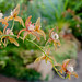 Cymbidium tracyanum orchid