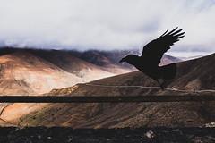 Cuervo (Daniele Zanni) Tags: travel bird silhouette google spain flickr fuerteventura raven canaryislands facebook squarespace 500px iceboxcool x100s
