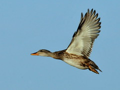 nature duck wildlife conservation waterfowl usfws gadwall seedskadeenwr nwrs