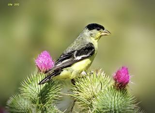 Lesser Goldfinch     2583