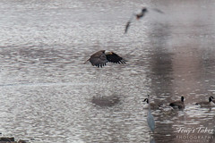 10 of 14 - Bald Eagle Fishing Sequence