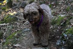 010545 - Sofa (M.Peinado) Tags: copyright espaa dog dogs animal canon spain sofa perro perros animales kdd rascafra comunidaddemadrid 2015 canoneos60d 03012015 enerode2015 kdd03012015 pdaesdelassierrasdeguadarramamadridyguadalajara