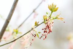 Eschen-Ahorn (Acer negundo) (blumenbiene) Tags: eschenahorn ahorn acer negundo baum tree blätter leaves blüten flowers pollen frühling spring box elder boxelder ashleaf maple ash