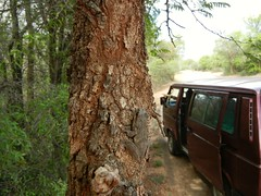 045-Kruger NP (dasypeltis) Tags: southafrica frog treefrog krugernationalpark xerampelina chiromantis chiromantisxerampelina southernfoamnesttreefrog