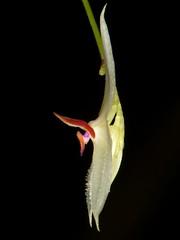 Lepanthes magnifica (Ecuador Megadiverso) Tags: naturaleza orchid flower macro southamerica nature fleur ecuador flora wildlife natur flor orchidaceae equateur orchidee blume makro equador biodiversity orqudea orchidea biodiversidad mindo sdamerika neotropical neotropics taxonomy:family=orchidaceae lepanthesmagnifica andreaskay