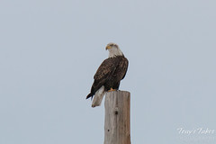 Bald Eagle Surveys the Area