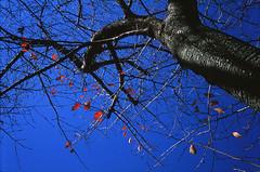 Blue Sky and Red Spots (Purple Field) Tags: blue autumn sky color tree film leaves japan rollei analog 35mm walking cherry iso100 kyoto fuji 京都 桜 日本 40mm 紅葉 秋 木 provia 散歩 ローライ f28 100f sonnar nagaokakyo カラー 富士 青空 リバーサル rdpiii hft rdp3 銀塩 フィルム 35se アナログ 長岡京 canoscan8800f ゾナー プロビア