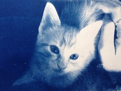 (Paula Pozzan) Tags: blue cute cat print fluffy tintype process toned alternative cyanotype gingercat alternativeprocess digitalnegative altprocess cianotipia