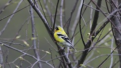 Finch Zoomed In (Totally Realistic Visionz) Tags: bird nature birds spring michigan finch birdwatching yellofinch