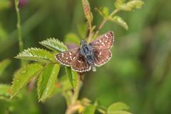 Spialia orbifer (Hbner, 1823) (Marcell Krpti) Tags: butterfly hungary lepidoptera hesperiidae pyrginae mtrafred spialiaorbifer smallquarry orbedredunderwingskipper kiskbnya trpkebusalepke