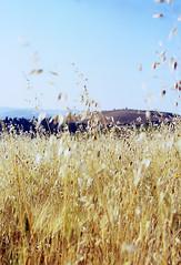 Sicilian Wheatfield (amelia.seddon) Tags: summer italy landscape enna slidefilm sicily wheatfield fujisensia