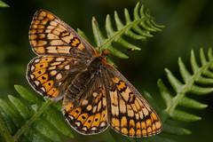 Euphydryas aurinia (2) (JoseDelgar) Tags: euphydryasaurinia josedelgar mariposa insecto coth contactgroups sunrays5 ngc npc platinumheartaward soe autofocus greatphotographers thegalaxy