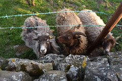 Three Goats (StevenParsons42) Tags: animals stone wall moss wire outdoor goat hungry curious barbed otley