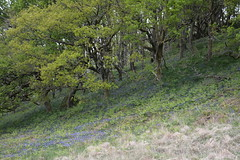 Spring bluebells in the woods around Loch Lomond (nic0704) Tags: blue mountain climb scotland bell ben walk hill rocky hike ridge summit loch ptarmigan bluebell hillwalking lomand munro trossoch