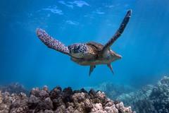 Flying (Lance Sagar) Tags: ocean blue sea usa green nature water coral island hawaii big underwater pacific turtle wildlife sony freediving hi reef apnea inon ikelite rx100