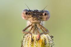 Sympecma (tomaszhalota) Tags: macro nature closeup nikon dragonfly naturallight reversed kenko extensiontubes sympecma d7100 rodenstockrogonars28mmf4