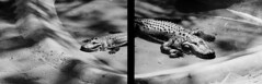 Alligator Diptych (Dr John2005) Tags: blackandwhite london 35mm diptych unitedkingdom alligator inversion