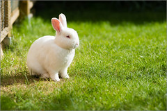Handsome Fella (mikeyp2000) Tags: white cute rabbit bunny bokeh sony 135mm stf a99 tetney