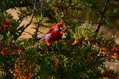 Eating away (Luke6876) Tags: bird animal wildlife parrot rosella australianwildlife crimsonrosella