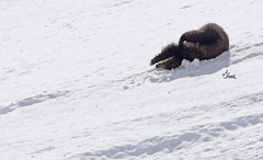 Celebrate - It's Friday! Grizzly Bear Sledding Down the Hill - 8569b2 (teagden) Tags: bear wild snow playing nature fun photography nikon funny play upsidedown wildlife slide down sledding grizzly sliding sled upside naturephotography grizz grizzlybear fridayfun wildlifephotography jenniferhall jenhall bearplaying jenhallphotography jenhallwildlifephotography