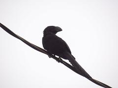 DSC04093 Anu-Preto (familiapratta) Tags: bird nature birds brasil iso100 sony natureza pssaro aves americana pssaros americanasp hx100v dschx100v