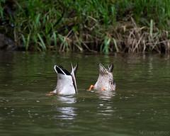 Realtionship goals (Molnar Gabor) Tags: wild river duck pair mallard anas anatidae platyrhynchos anseriformes dunajec