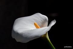 1-DSC_3804-001 simple is elegant (profmarilena) Tags: macro closeup whiteflower calla bianco sigma150 nikond810