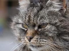 (blogspfastatt (+3.000.000 views)) Tags: pet cat nice gato katze gatto kot pfastatt blogspfastatt georgesblaszczyk