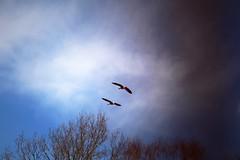 Not yet summer but still (kajsatoresson) Tags: summer sky fly geese spring flight goose darkclouds