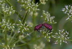 c'est la vie 1 (nickneykov) Tags: red plants macro green nikon bugs bulgaria d750 tamron 90mm nikond750