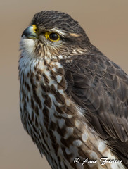 Merlin (Anne Marie Fraser) Tags: nature wildlife merlin falcon
