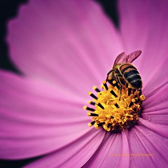 Bee-hind (Karen Tregoning Photography) Tags: pink flower up yellow closeup canon insect eos still wings pretty dof purple sting depthoffield bee frombehind nectar behind pollen canoneos550d eos550d closemacromacro photographyblurdetailgardensgardenflowersfloralovenatureplantpetalspink