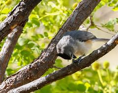 7b-black-crestedtitmouse-6655 (h.redpoll) Tags: bigbendtrip blackcrestedtitmouse davismountainsstatepark feeders texas westtexas