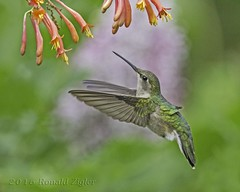 Ruby-throated Hummingbird (female) IMG_0063-Edit.tif (ronzigler) Tags: bird canon hummingbird wildlife 300mm f4 avian rubythroated songbird 14x 420mm birdwatchernature