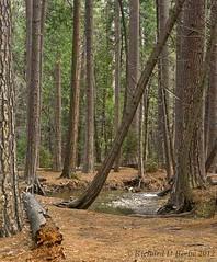 """Yosemite Forest Light"" (rbeebephoto) Tags: california forest pentax april yosemitenationalpark sierranevada 2012 yosemitevalley pentaxart pentaxk5 richarddbeebe richardbeebe2012"