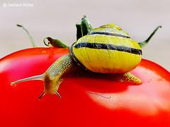 Schnecke auf einer Tomate (GerWi) Tags: nature animals tomato tiere outdoor natur hell snail schnecken tomate hainbänderschnecke