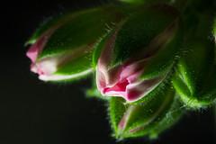 Flower 花 華 (nak.viognier) Tags: flower 花 華 leicadgmacroelmarit45mmf28 olympusepl1