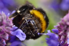 Bumblebee in the Lavender (Yani Dubin) Tags: pink newzealand christchurch summer orange flower color macro nature animal bug insect dof purple lavender gimp canterbury sharp bee bumblebee resting arthropods monavale arthropod bombus multipleexposures macrophotography terrestris focusstack arthropode tokinaaf100mmf28macro d7000