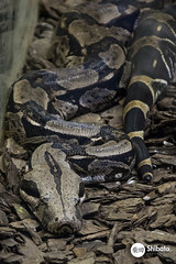 Intituto Butantan (Carlos Shibata) Tags: cobra snake animais lagarto instituto reptil butantan peonhento