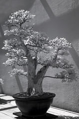 DSC_3857s (An Xiao) Tags: arboretum bonsai penjing