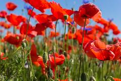 Poppies, everywhere poppies! (n_kot) Tags: field landscape pole wildflowers kwiaty kwiat kwiatypolne