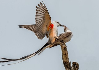 Scissor-tailed Flycatchers mating