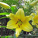 Giant+Yellow+Lily+%286+to+8+feet+tall%21%29