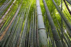 Giant Bamboo (Role Bigler) Tags: japan forest kyoto bamboo bambus bamoo