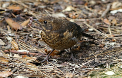 The early bird gets the worm (SteveJM2009) Tags: uk detail june feeding eating dorset worm turdusmerula juvenile bournemouth blackbird markings plumage stevemaskell 2016 lowergardens naturethroughthelens