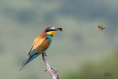 Hm bld Schnabel schon voll :-) (Claudia Brockmann) Tags: bird nature birds forest wildlife natur vgel wald insekten vogel biene hummel beeeater bulgarien bienenfresser ~themagicofcolours~iv