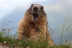 Alpenmurmeltier (Thomas Berg (Cottbus)) Tags: sterreich alpina alpen hohe marmota tauern alpia alpenmurmeltier