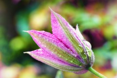 Clematis Kakio (Missy Jussy) Tags: flowers summer flower macro gardens closeup canon outside petals stem bokeh outdoor clematis bud colourful mygarden britishsummertime cannon600d clematiskakio
