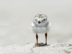Last standing (Lisa Franceski) Tags: charadriusmelodus pipingplovers pipingploverchick babyshorebirds pipingploverbaby lisafranceski shorebirdbabies shorebirdsoflongisland lisafranceskiwildlifephotography